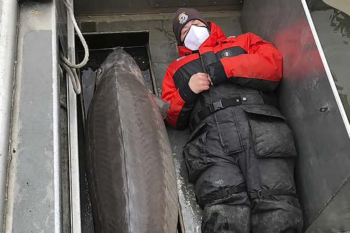 Pescan en EE.UU. un enorme esturión de lago de tamaño humano que nació hace unos 100 años