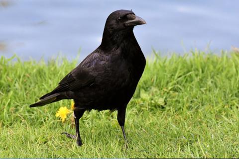 Aclaran el fenómeno del aterrador cuervo 'megamúsculo'
