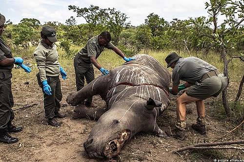 La caza de rinocerontes aumentó un 50 por ciento en Sudáfrica