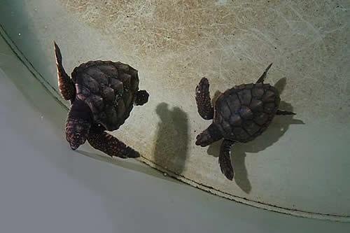 Hermanas y reunidas: dos tortugas marinas se encuentran en Valencia tras meses en el mar