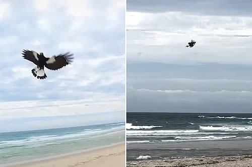 Una urraca agresiva se lanza a la caza de un dron en pleno vuelo