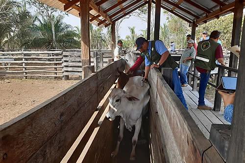 Inician la temporada de vacunación contra la Fiebre Aftosa en Santa Cruz